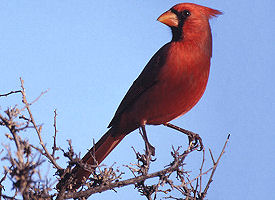 Official North Carolina state bird.