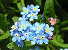 Picture of the Forget-Me-Not, the official state flower of Alaska.