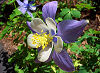 Picture of the Rocky Mountain Columbine, the official state flower of Colorado.