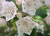Picture of the Mountain Laurel, the official state flower of Connecticut.