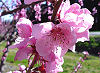 Picture of the Peach Blossom, the official state flower of Delaware.