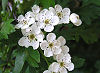 Picture of the Hawthorn, the official state flower of Missouri.