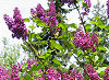 Picture of the Purple Lilac, the official state flower of New Hampshire.