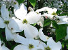 Picture of the American Dogwood, the official state flower of North Carolina.