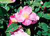 Picture of the Wild Prairie Rose, the official state flower of North Dakota.