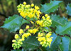 Picture of the Oregon Grape, the official state flower of Oregon.