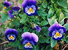 Picture of the Violet, the official state flower of Rhode Island.