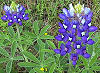 Picture of the Blue Bonnet, the official state flower of Texas.