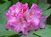 Picture of the Coast Rhododendron, the official state flower of Washington.