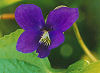Picture of the Wood Violet, the official state flower of Wisconsin.